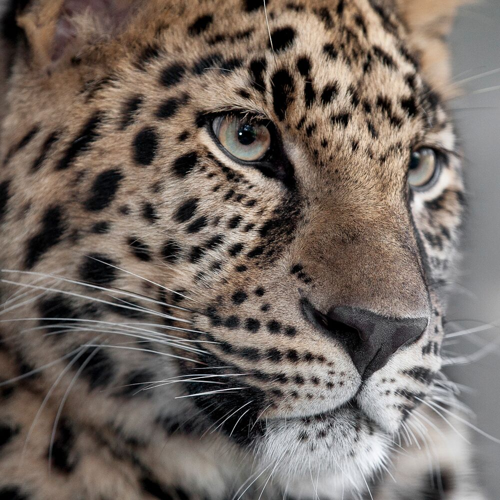 leopards at the san diego zoo