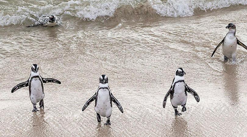 san diego zoo african penguins