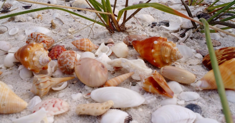 Shelling Tips in Southwest Florida