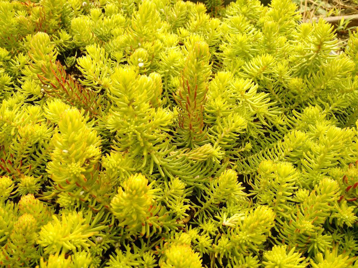 Yellow sedum succulents make it pop boredmom sedum sexangular mightylinksfo